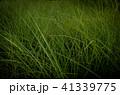 草 芝生 芝 41339775