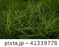 草 芝生 芝 41339776