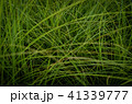 草 芝生 芝 41339777