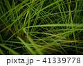 草 芝生 芝 41339778