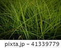 草 芝生 芝 41339779