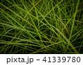 草 芝生 芝 41339780