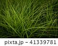 草 芝生 芝 41339781