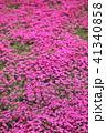 シバザクラ 花 満開の写真 41340858