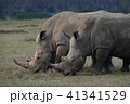 犀 ミナミシロサイ 哺乳類の写真 41341529