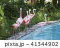 フラミンゴ 鳥 大牟田市動物園の写真 41344902