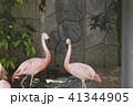 フラミンゴ 鳥 大牟田市動物園の写真 41344905