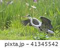 アオサギ 鳥 野鳥の写真 41345542