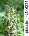 花 アカンサス 植物の写真 41346235