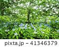 立岡自然公園の紫陽花  41346379