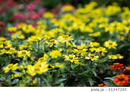 黄色いジニアの花 41347295