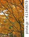 紅葉 植物 黄色の写真 41349079