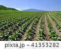 畑 キャベツ 初夏の写真 41353282