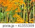 竹 秋 竹林の写真 41355309
