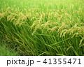 たんぼ 田んぼ 田圃の写真 41355471