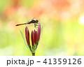 ヒガンバナ 秋 トンボの写真 41359126