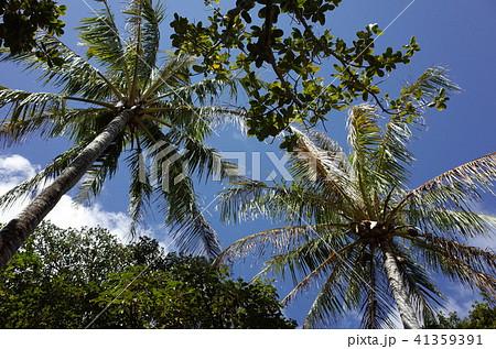 ヤシの木 小笠原諸島 41359391