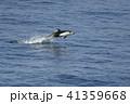 カマイルカ疾走(青森県) 41359668