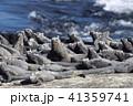 ガラパゴス諸島のウミイグアナ(エクアドル) 41359741