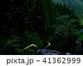 蛍 ゲンジボタル 乱舞の写真 41362999