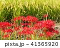 彼岸花 曼珠沙華 花の写真 41365920