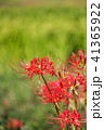 彼岸花 曼珠沙華 花の写真 41365922