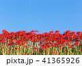 彼岸花 曼珠沙華 花の写真 41365926