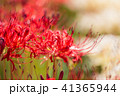 彼岸花 曼珠沙華 花の写真 41365944