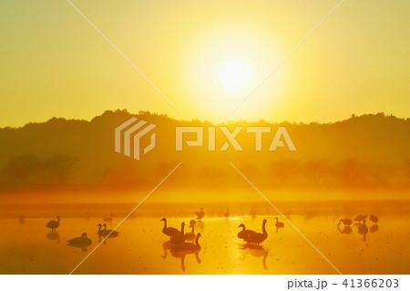 朝焼けの白鳥、太陽の陽射しを浴びて雄叫びの写真 41366203