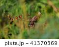 キジバト ハト 鳥の写真 41370369