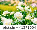 植物 クローズアップ 花の写真 41371004