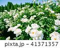 植物 クローズアップ 花の写真 41371357