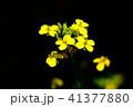 花 ナバナ 菜の花の写真 41377880