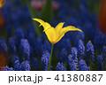 黄色のチュウリップアップ 41380887