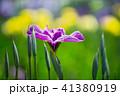 花菖蒲アップ 41380919
