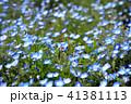 ネモフィラ 植物 花の写真 41381113