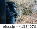チンパンジー 猿 動物の写真 41384078