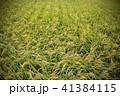 稲穂 稲 実りの写真 41384115