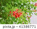 植物 花 亜米利加梯梧の写真 41386771