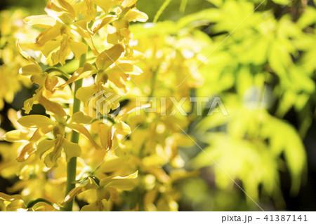 新緑をバックにキエビネの花 41387141