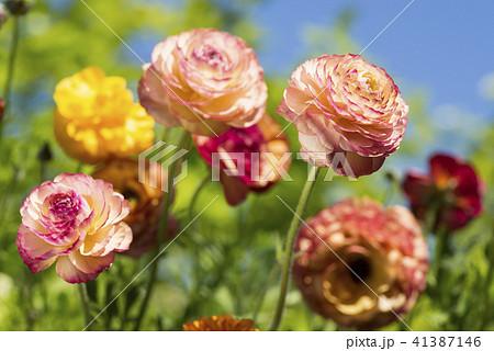 ハナキンポウゲの花 41387146