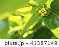 カキノキ 花 カキの写真 41387149