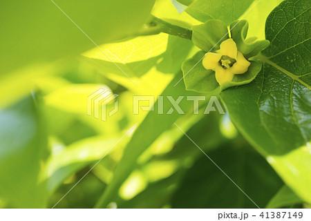 緑の中のカキノキの花 41387149