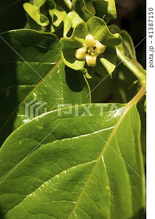カキノキの花と葉 41387150