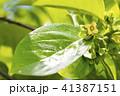 カキノキ 花 カキの写真 41387151