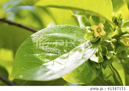 カキノキの花と葉 41387151