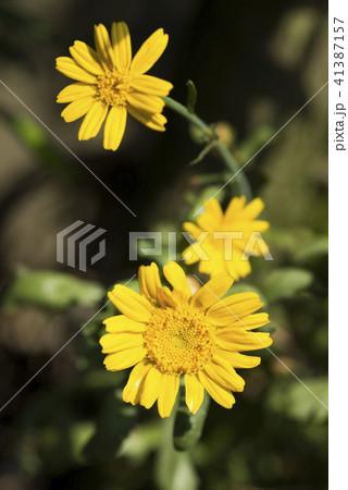 シュンギクの花 41387157