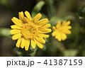 シュンギク 花 黄色の写真 41387159