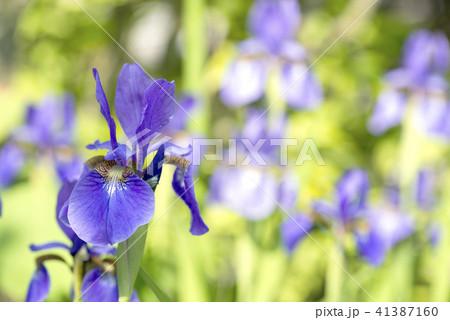アヤメの花花 41387160