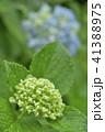 紫陽花 アジサイ 植物の写真 41388975